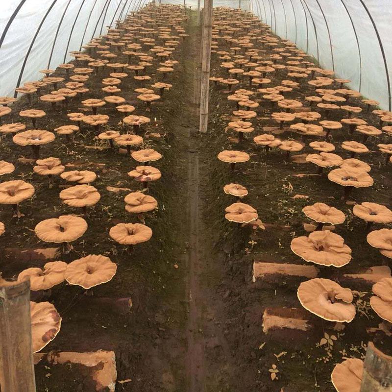 kỹ thuật trồng nấm linh chi