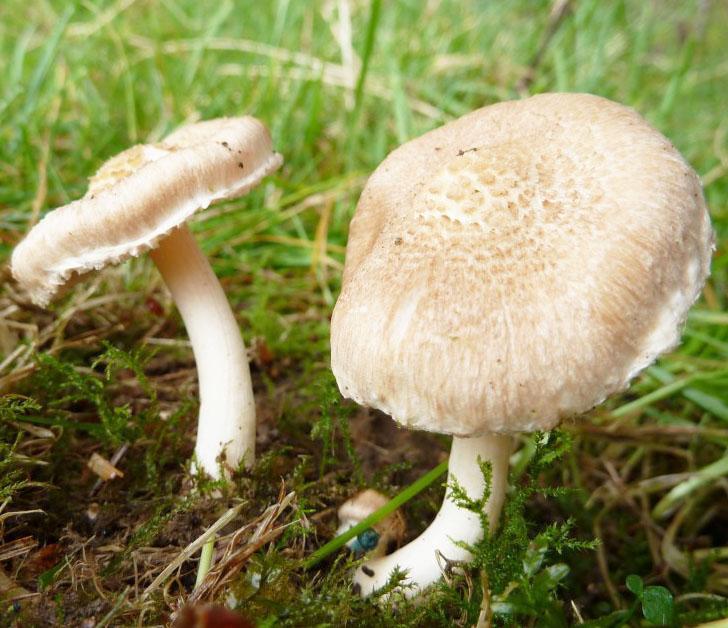 Nấm Deadly Dapperling là nấm độc nhất thế giới
