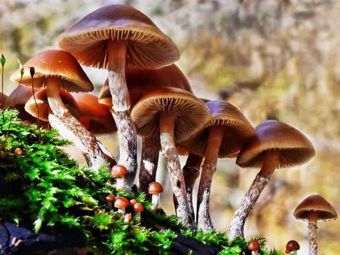 Nấm Đầu Lâu Mùa Thu là nấm độc nhất thế giới