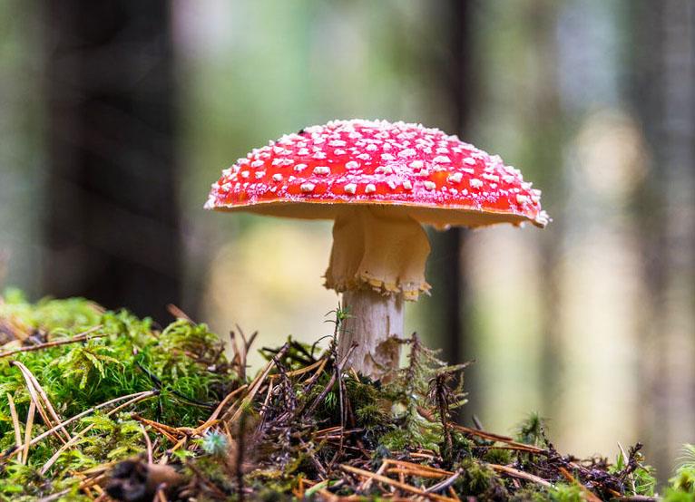 Nấm Tán Bay là nấm độc nhất thế giới