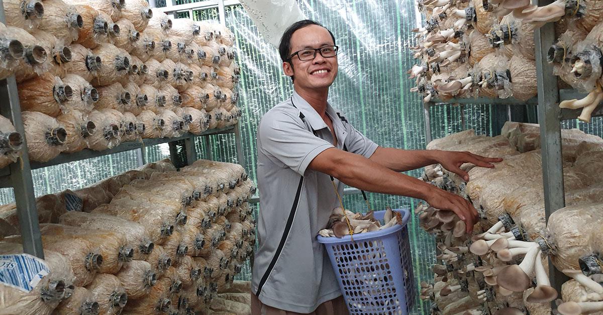 quy trình nuôi trồng nấm bào ngư và thu hoạch