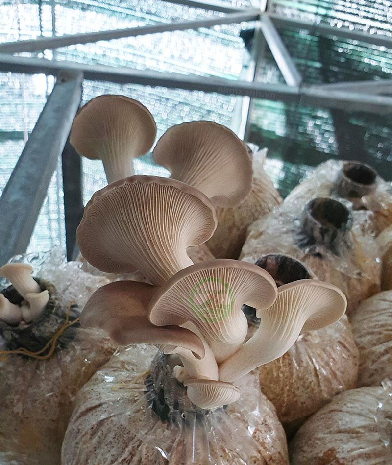 Cách thu hoạch tai nấm tốt nhất khi trồng nấm tại nhà