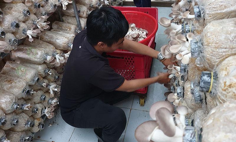 cách thu hoạch nấm chuẩn khi tự trồng nấm tại nhà