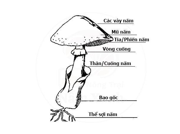 Cấu tạo của nấm
